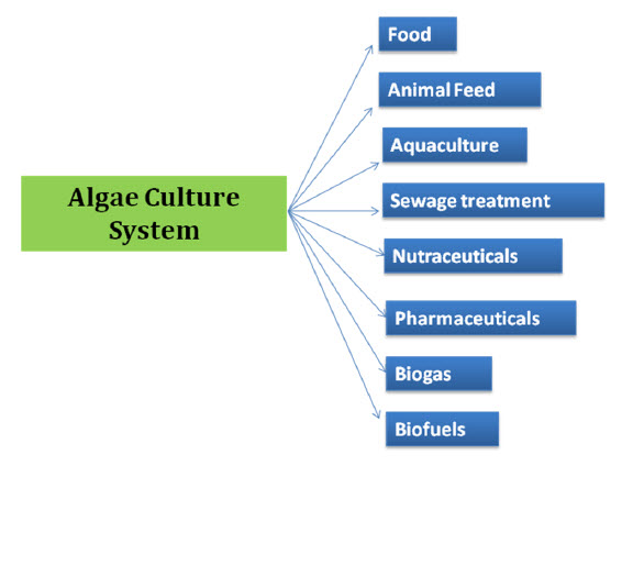 algae to biofuel