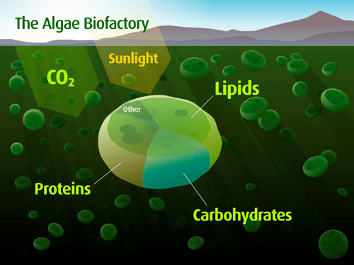 algae biofuel The oil and gas giant says it could be making 10,000 barrels a day within a few years–a small drop in the amount of oil it produces, but a huge boost in the amount of algae-based biofuel.