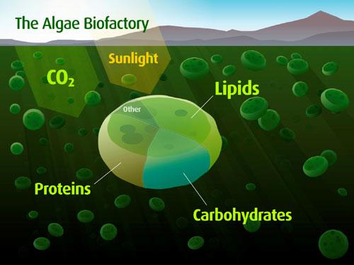 algae biofactory