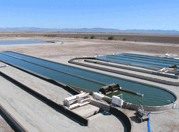 algae yields in open ponds